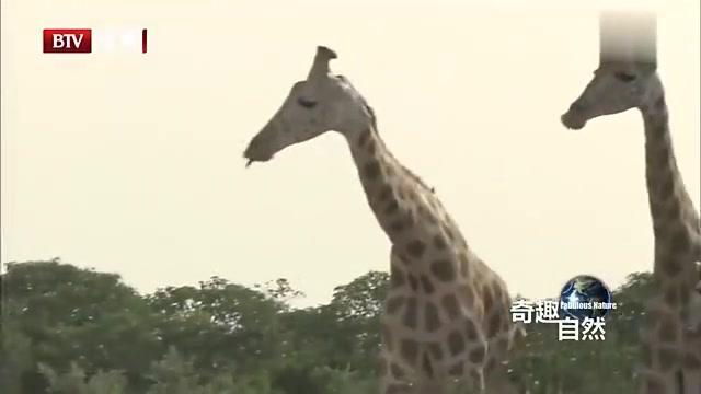 原来长颈鹿是这么痴情的动物!这只公鹿等了母鹿好久,终修成正果