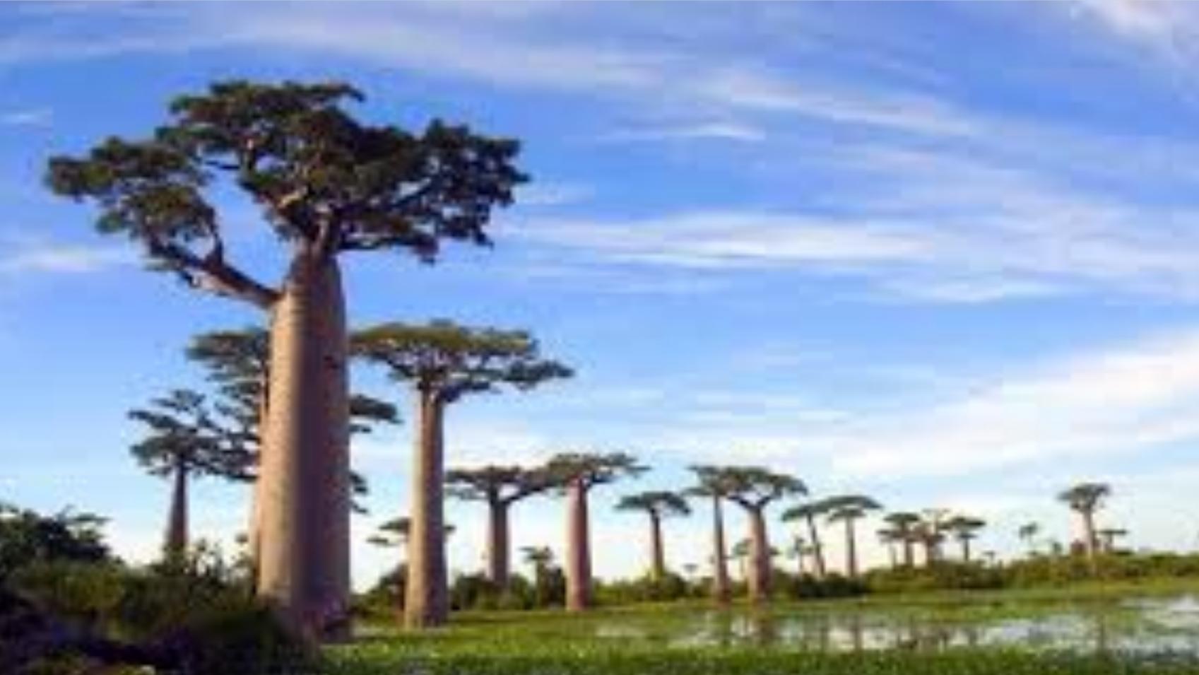 """非洲可以储水2吨的树,到中国几年变成""""孕妇"""",让人啼笑皆非"""