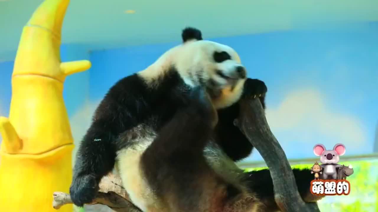 熊猫吐槽大老黑即将开启,黑猩猩却打起了苦情牌,结果苦了考拉