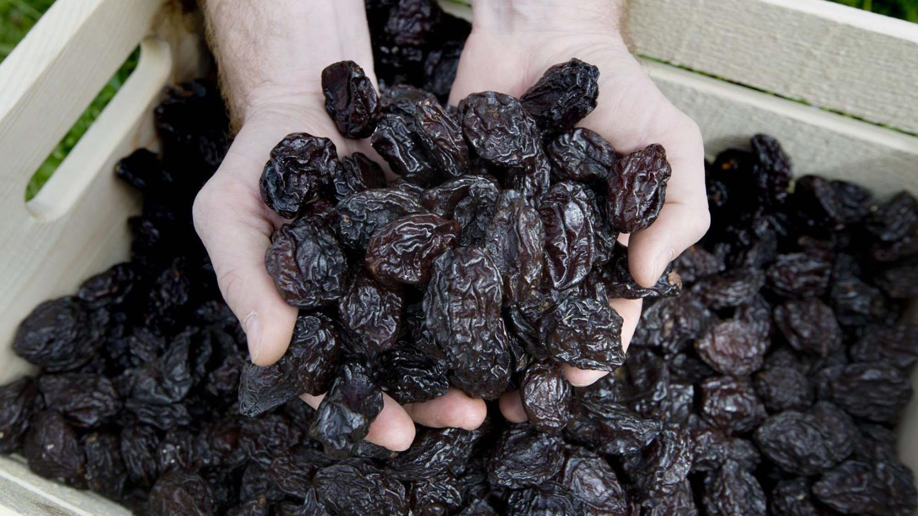 南美农民开收割机采收智利西梅,加工厂流水线处理做果干!