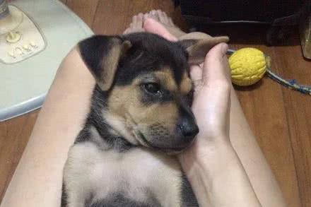 网友两年前领养了只田园犬,长大后发现变色了,小萌狗变成了大叔