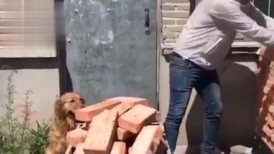 主人将金毛送回老家,这货连搬砖都学会了,汪:自己动手丰衣足食