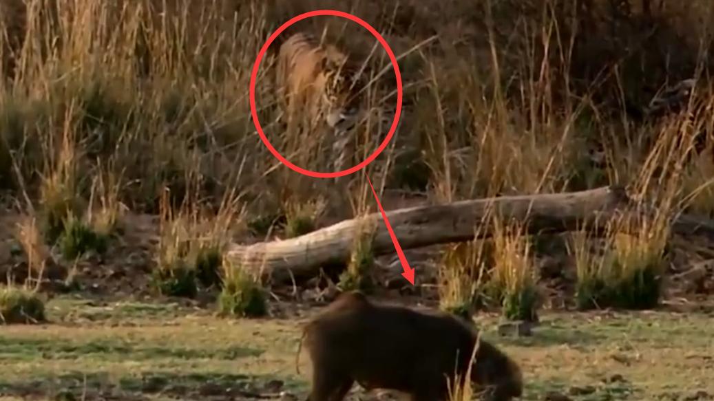 这头野猪实力也太强了,吓得狮子连连后退,成年老虎都不敢惹它!
