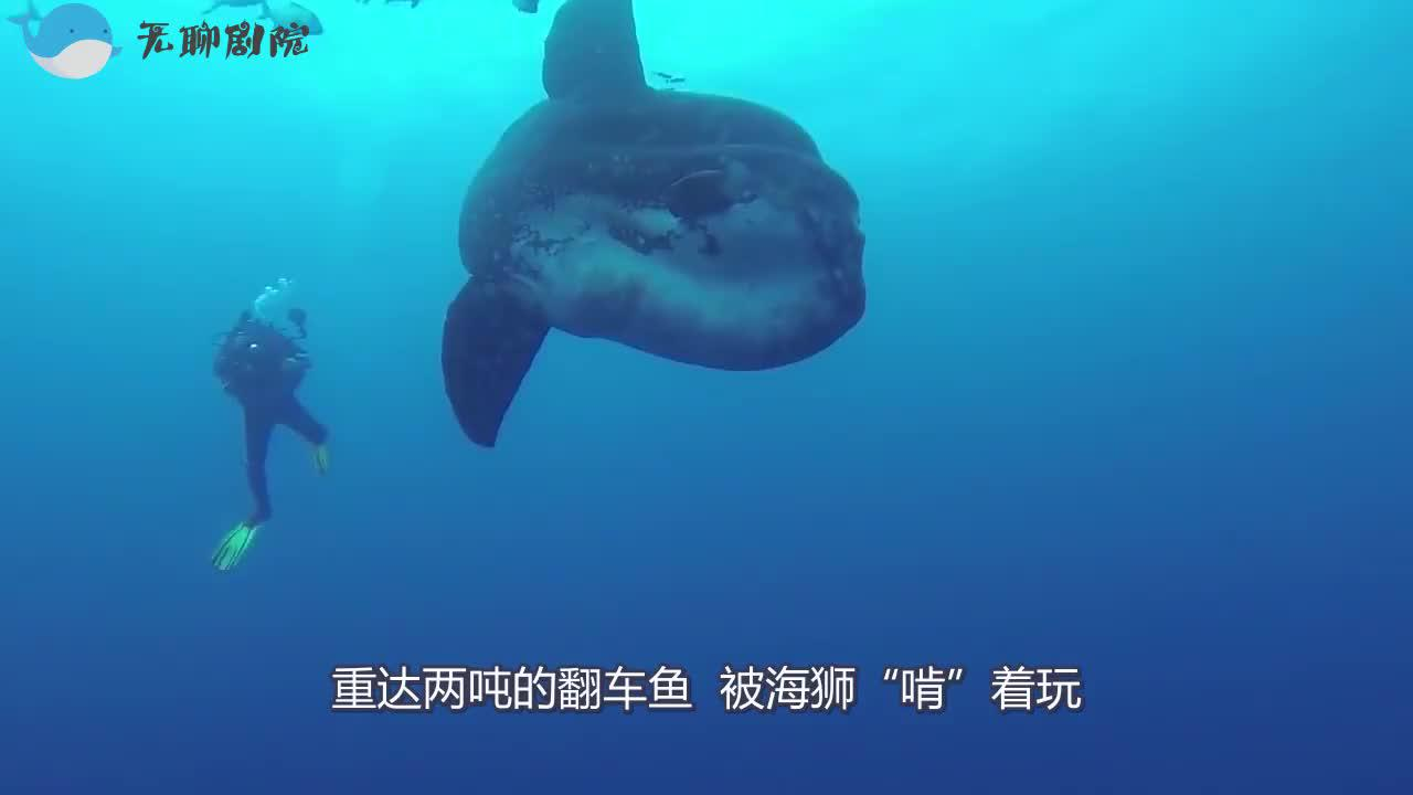 重达两吨的翻车鱼被海狮啃着玩这一身肉是白长了吗