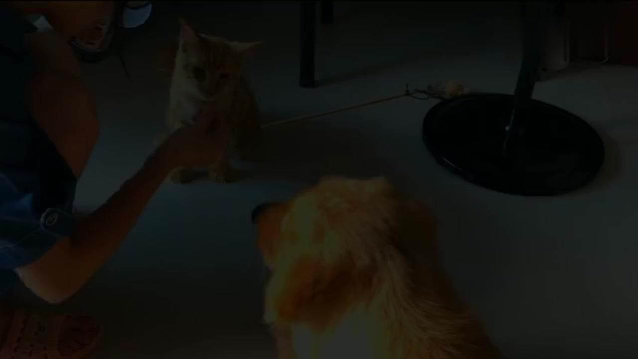 牵手成功!在铲屎官们的共同努力下,金毛和小猫咪终于交上朋友