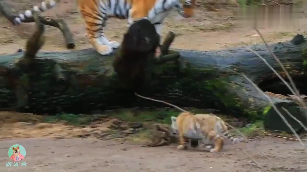 老虎的亲子时光,跟小老虎一起亲昵玩耍,其乐融融