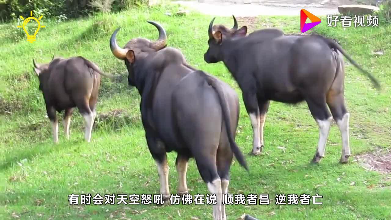 世界上最凶残的牛是牛魔王的原型可以瞬间秒杀狮子和老虎