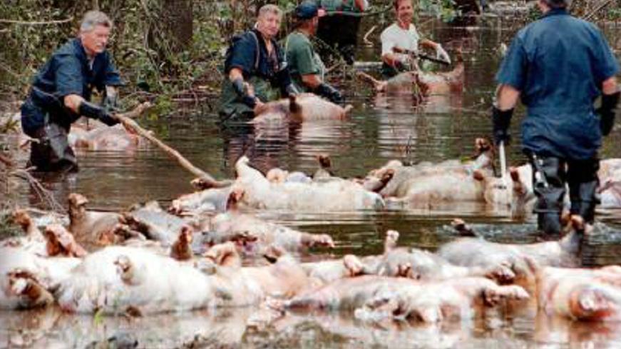 非洲红河猪泛滥成灾,当地人头疼不已,中国吃货高兴坏了