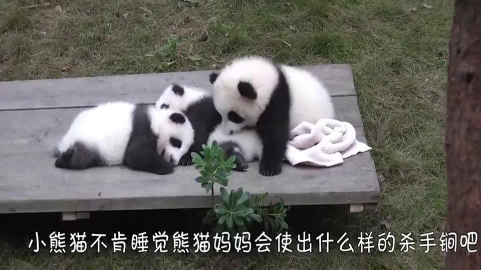 萌宠调皮的小熊猫不肯睡觉熊妈妈使出绝招 小熊猫放过我吧我错了