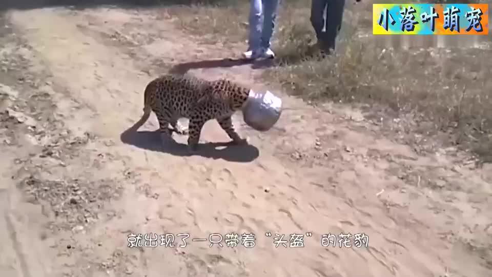 花豹不慎被铁罐套住头无奈只好求助人类没想到却变成大型撸豹现场