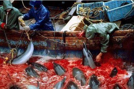 日本捕食鲸豚季杀到!捕捉逾1.6万鲸豚,包括海豚、小须鲸.
