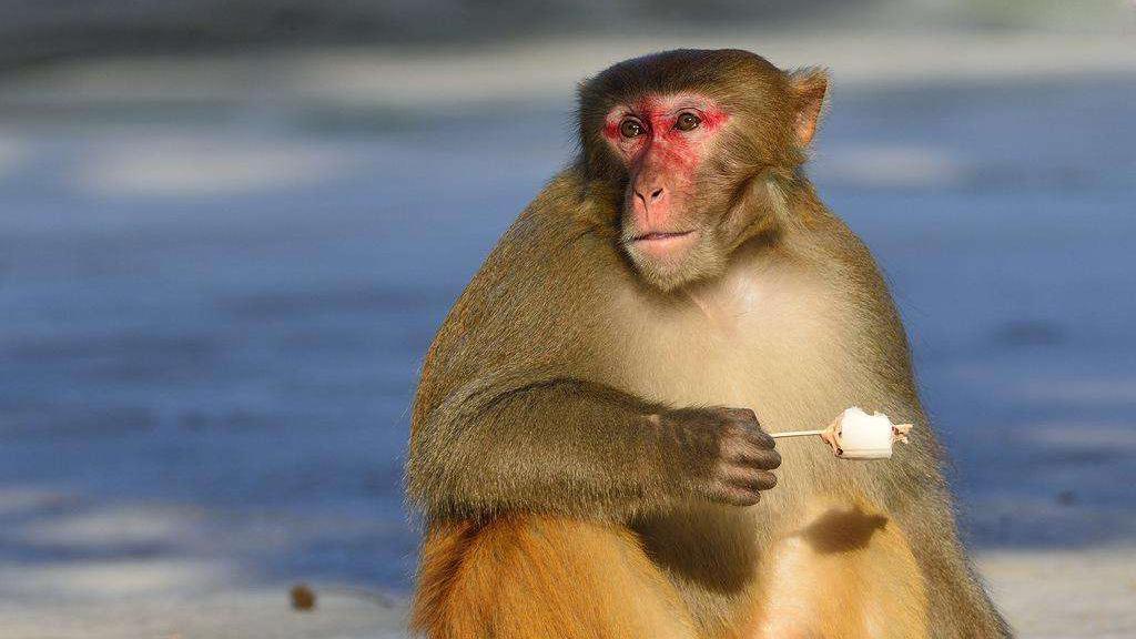 猴子能进化成人吗?科学家对巴拿马猴群调查,结果令人诧异!