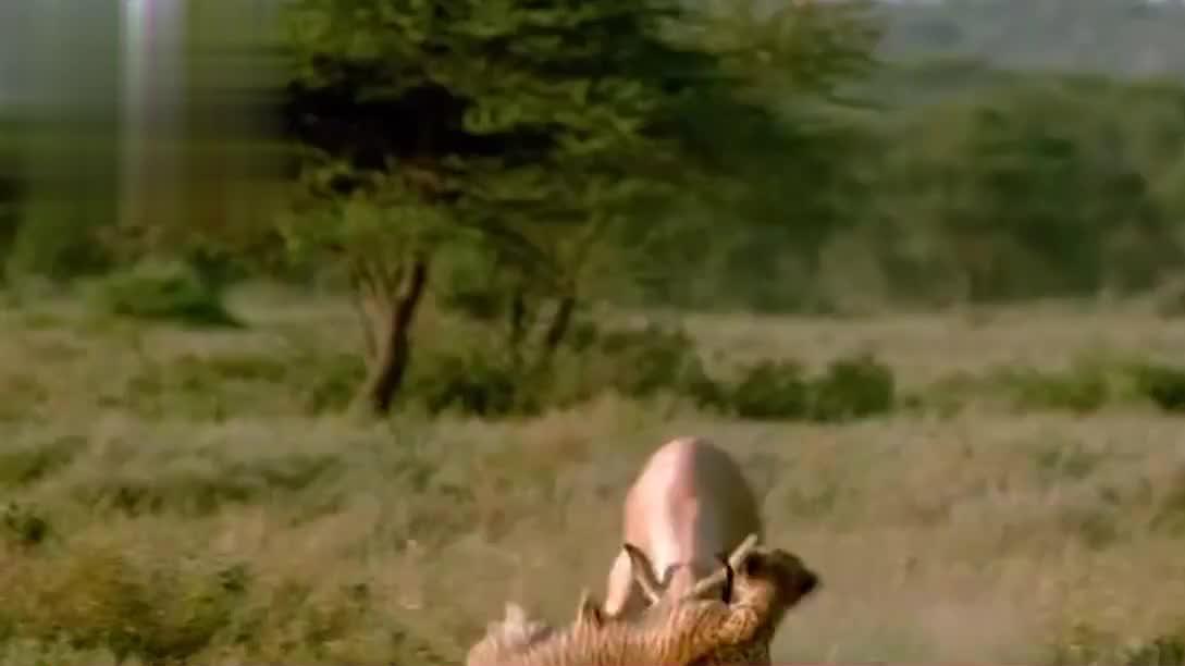 豹子捕食羚羊,怎么都没想到羚羊角如此尖锐,悲剧发生了