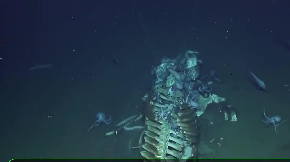 探险家在深海发现,一具长5米的蓝鲸骨架,专家看后:一切都值了