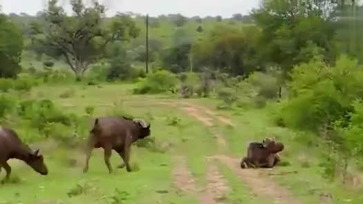 """10几头狮子久攻不下一头野牛,你还敢叫""""百兽之王""""?"""