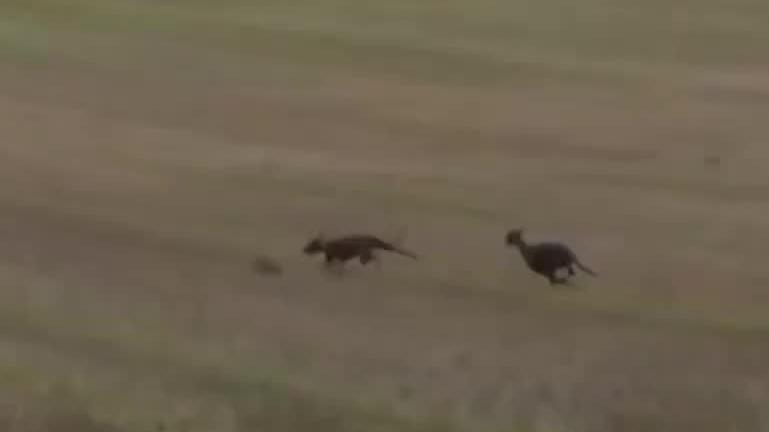 被这两只狗狗盯上逃跑速度再快的兔子都跑不过它们
