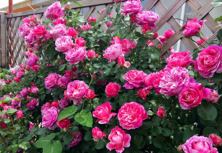 """精品月季""""依蕾·莎丝特"""",花比叶多,甚美,可以说是养花首选"""