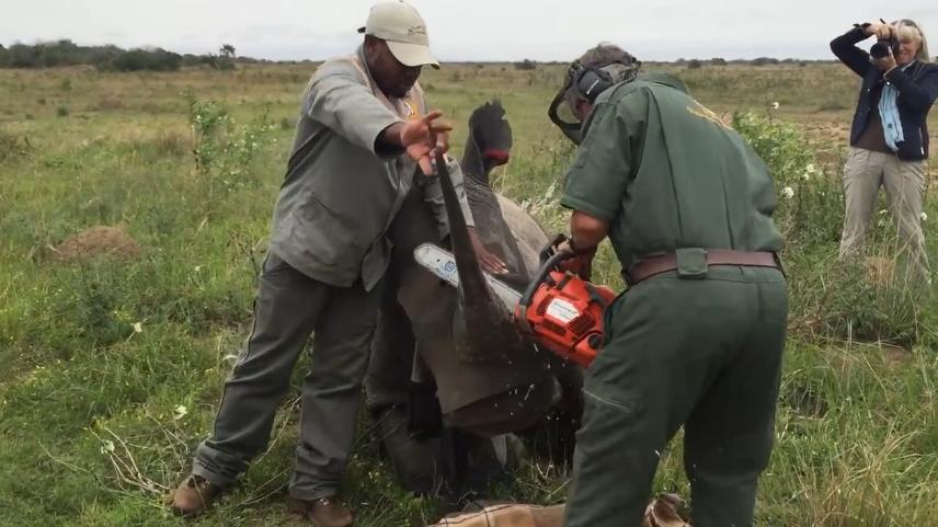 犀牛角被生生切割!现在才知道,人类是为了保护犀牛安全