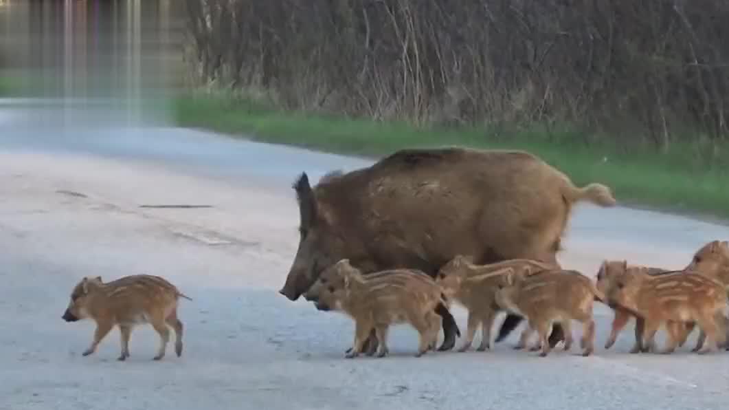 这群野猪封锁了马路,不料一辆车开来后,场面瞬间失控了!