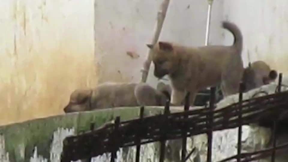 萌宠大山里的田园犬一群小奶狗在门口排排坐看到主人外出想跟着去