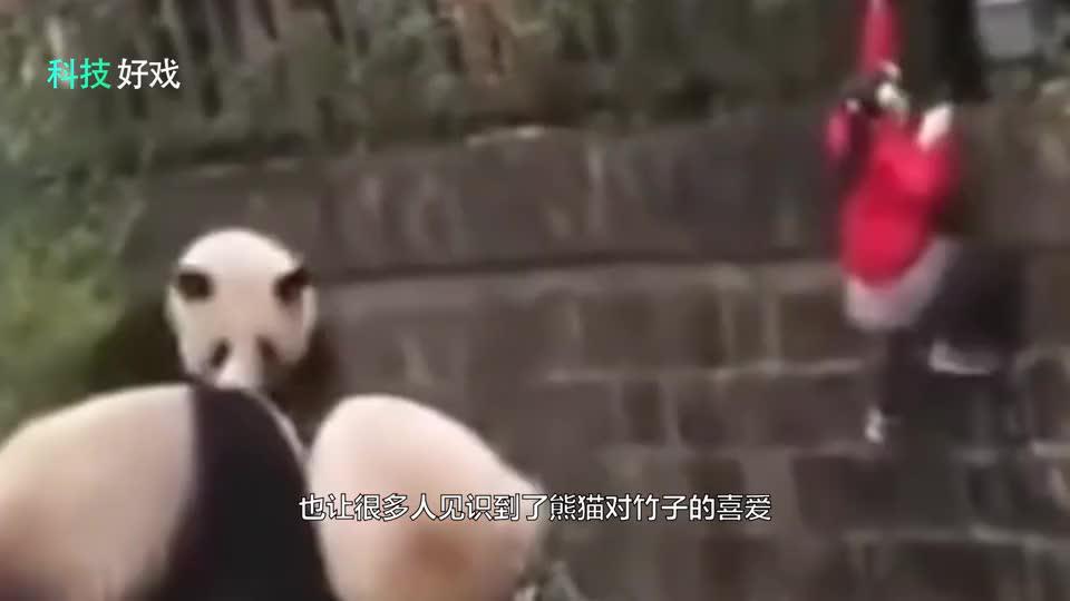 团子太暖了当小女孩掉进熊猫窝熊猫们的举动让人瞪大双眼