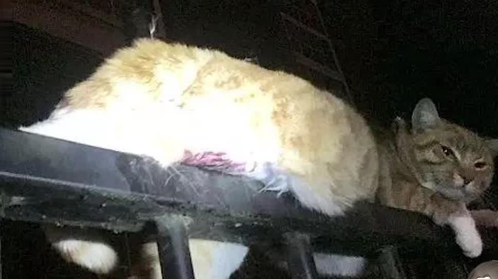 猫真的有9条命,被2根栅栏刺穿身体,还能够坚强的活下去