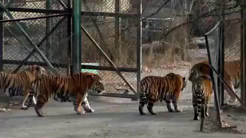 西伯利亚虎2分钟打趴非洲雄狮,实力证明谁才是大王!