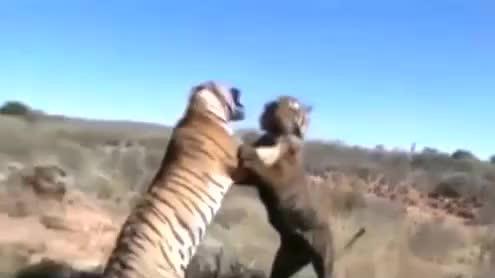两只老虎为了争夺地盘,咬死了还不罢休太狠了,镜头记录全过程!