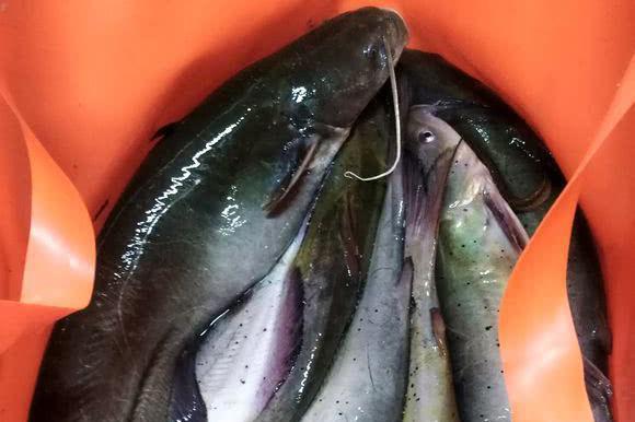 """喜欢食鱼?嘉陵江水域现一种""""白骨鱼"""",体型肥硕,数量不少"""