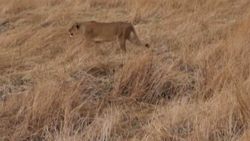 麋鹿在水潭边喝水倒霉的被狮子盯上还没反应过来就被攻击