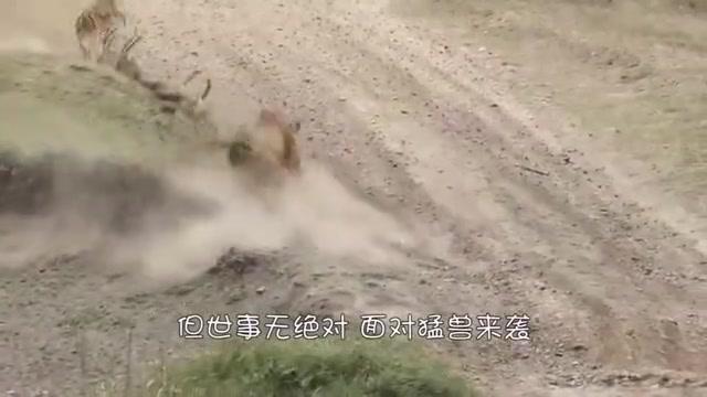 大羊驼被4头美洲狮围捕,不甘被吃,以1敌4大战美洲狮