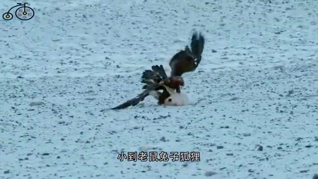 猫头鹰被老鹰攻击,地上狗狗看不惯了,镜头拍下见义勇为全过程