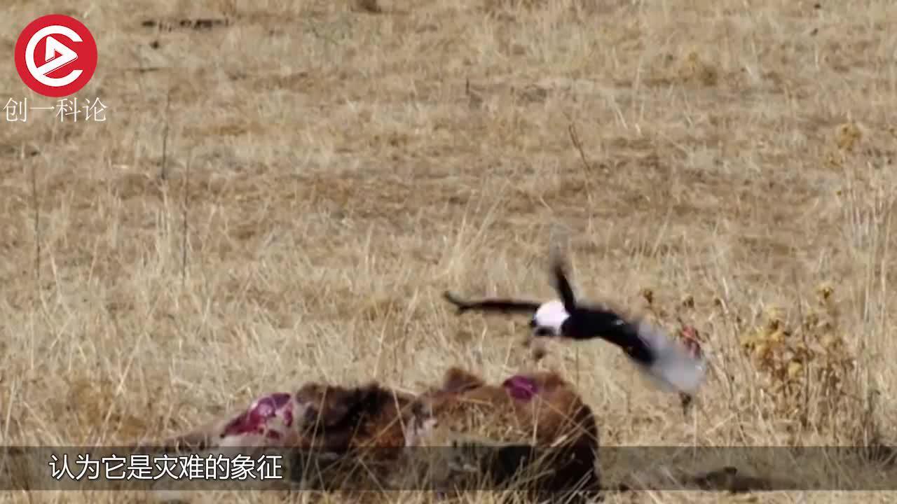 秃鹫吃的正爽突然画风一变被拉进水里究竟发生了什么