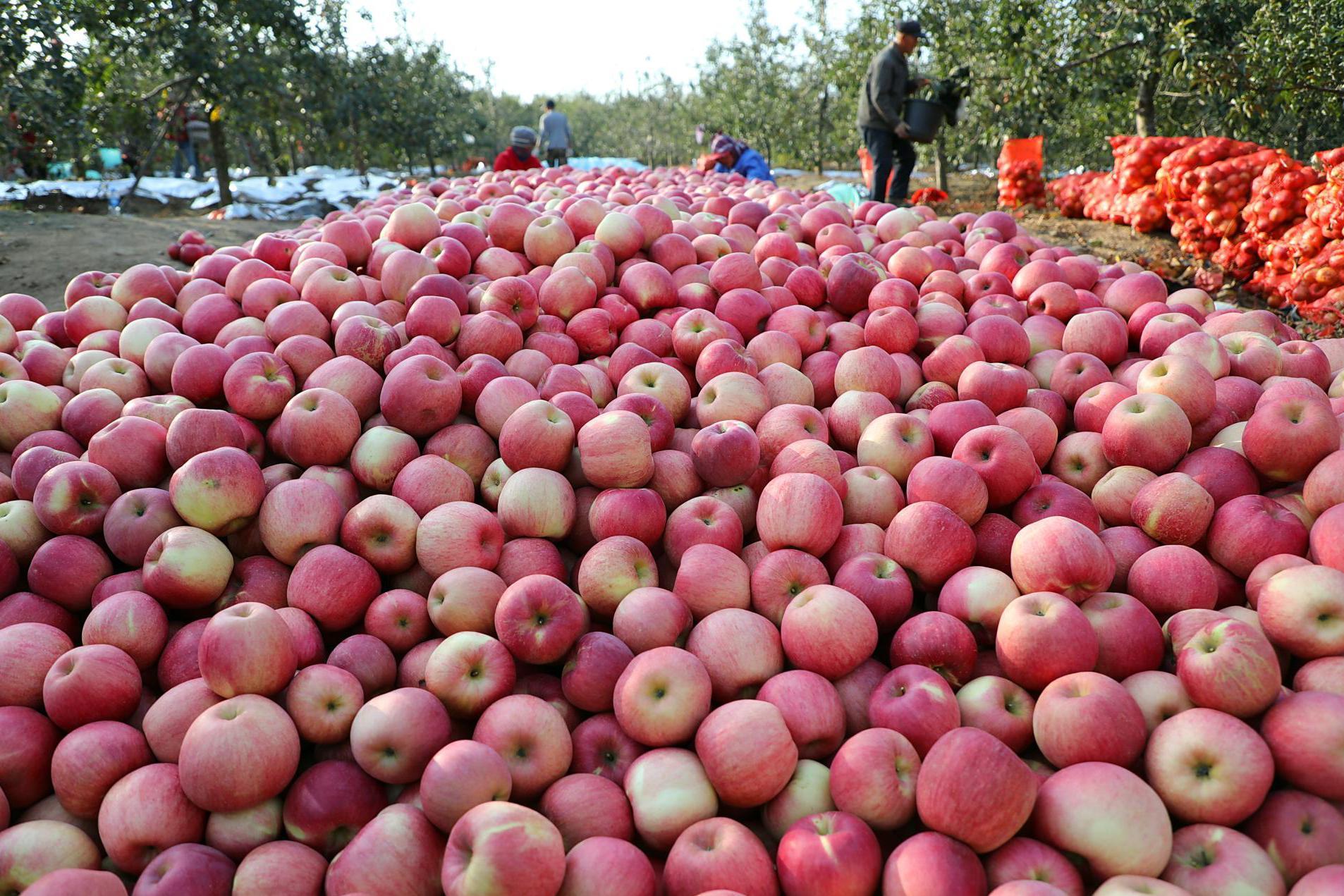 """8毛一斤!最廉价苹果诞生,果农守着""""金山""""叫苦:狼真的来了"""