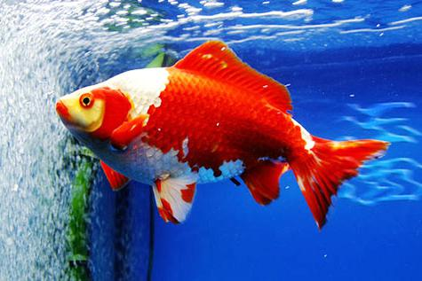 中国国粹金鱼鉴赏-草金(五)