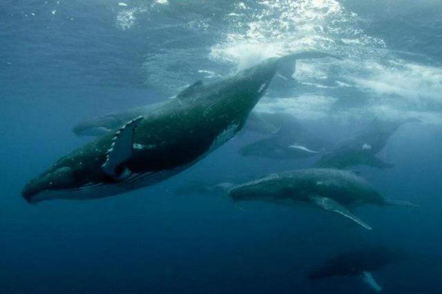 地球上10大最厉害的鲸鱼,很多都濒临灭绝,你都知道吗?