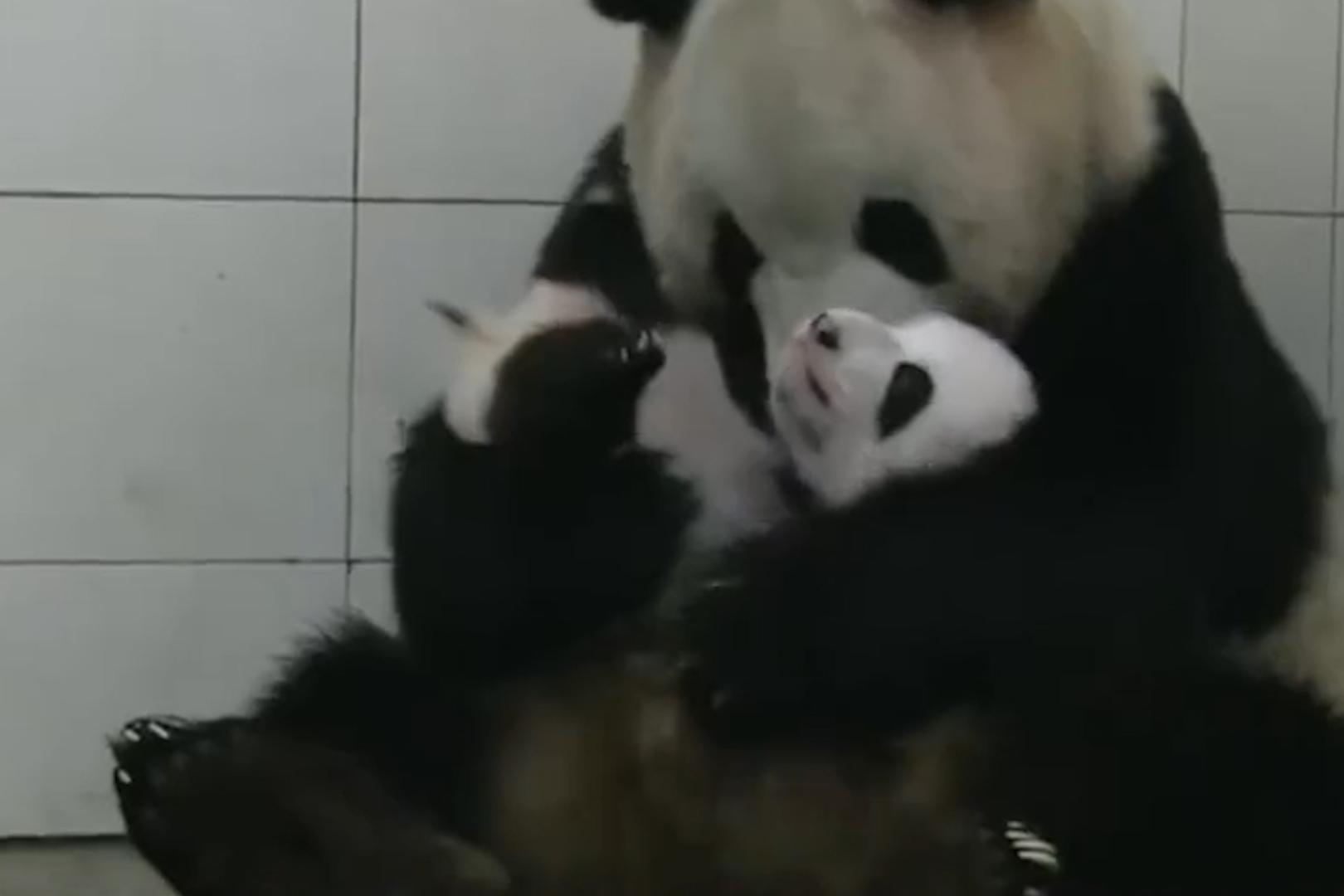 大熊猫第一次见到宝宝,初为熊母茫然无措,接下来憋住别笑