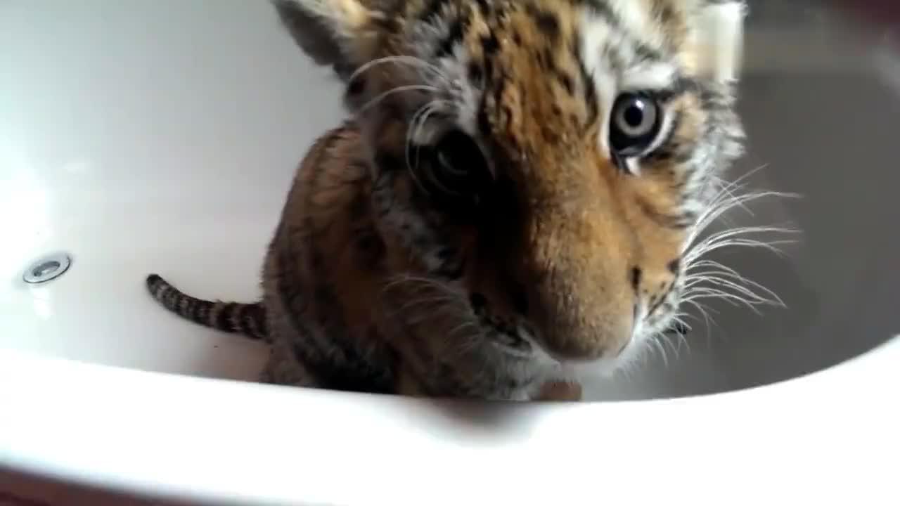 小老虎站在浴缸里一脸委屈的看着主人,宝宝不想洗澡啦