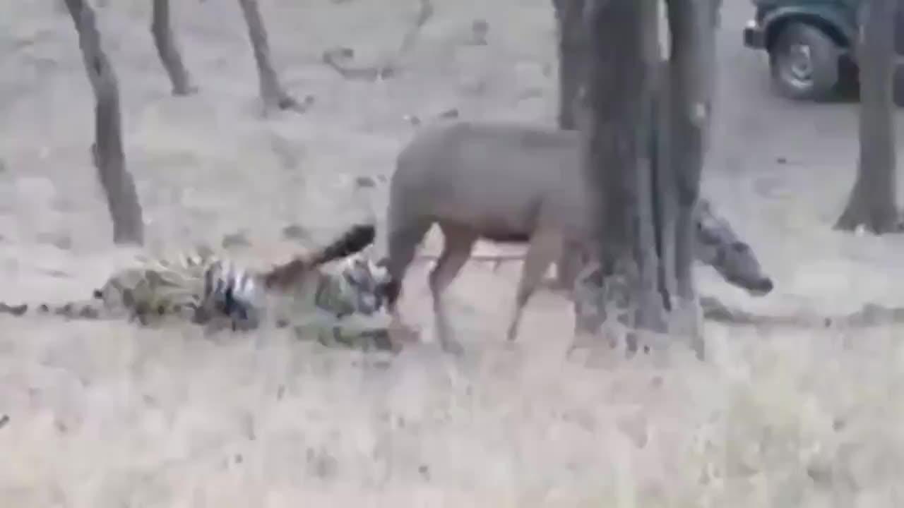 老虎使劲拖着小牛后腿不让跑,小牛没力气了只能放弃挣扎,真可怜