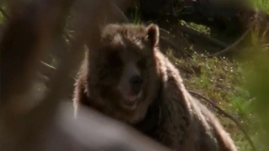 食物短缺的季节马鹿幼崽让棕熊一家享用一顿豪华大餐
