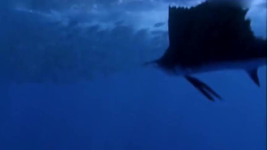 《人与自然》旗鱼是世界上速度最快的海洋生物