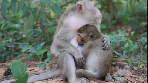 猴妈妈喂小猴子喝奶,猴爸爸过来帮抓虱子,好幸福的一家三口