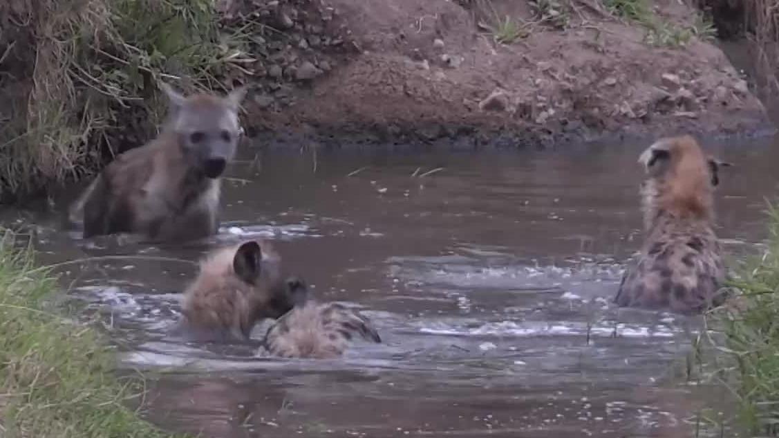 少见的鬣狗悠闲时光几只平头哥在水中鸳鸯戏水玩得很嗨