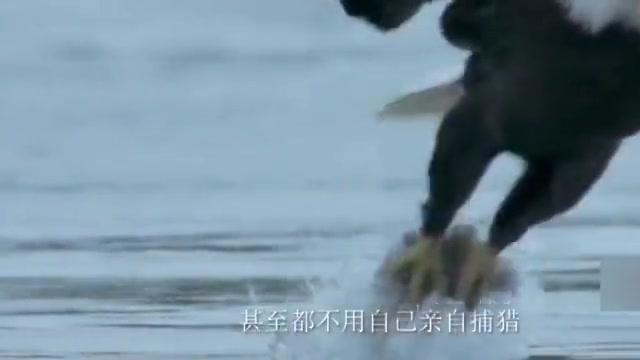 狐狸与秃鹰空中上演夺兔大战,狐狸被拖数十米,镜头拍下罕见一幕