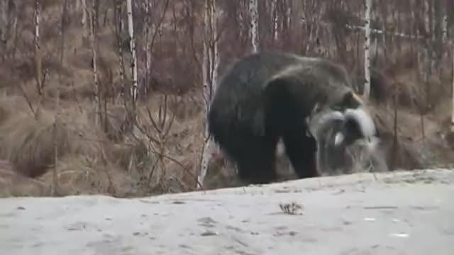 饥饿的棕熊对战狗狗!