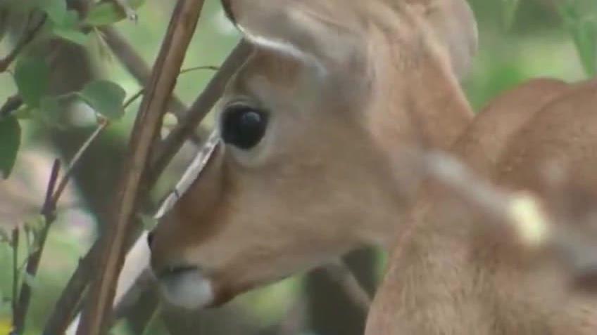 《人与自然》黑斑羚成为草原上的快餐豹子狮子老虎的美味