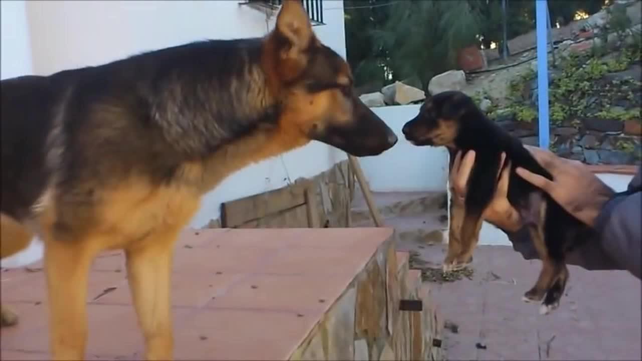 神奇德牧狗狗通过闻气味知道小奶狗是自己的孩子非常激动