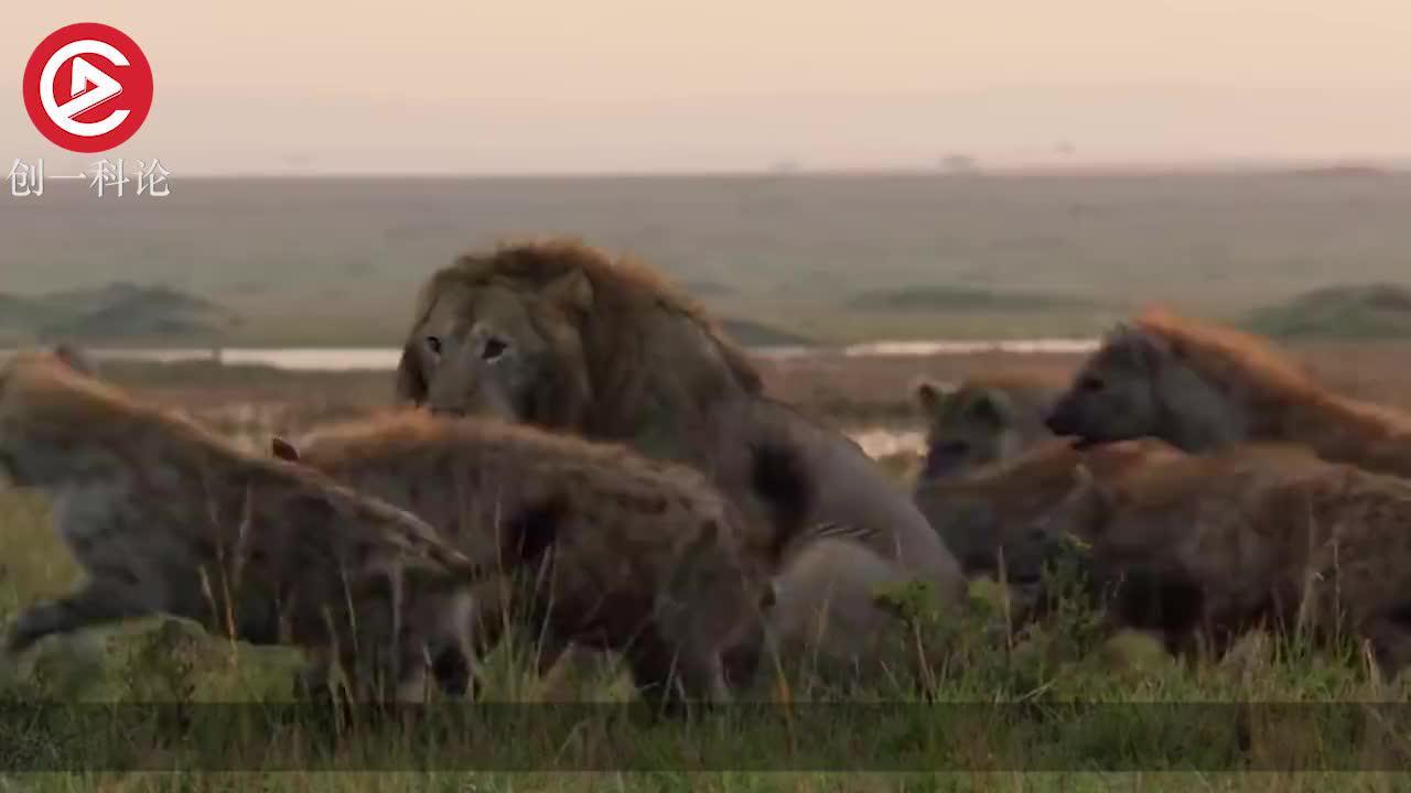 落单狮子被鬣狗围攻惨遭集体咬食同伴回来后彻底愤怒了
