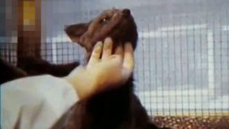 俄罗斯人繁育的狗狐狸:活生生的小狗 乖的很