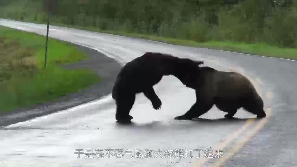 两头加拿大棕熊上演先礼后兵,你先动手了,那我也不客气了